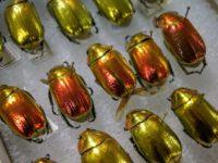 A la chasse au scarabée métallique