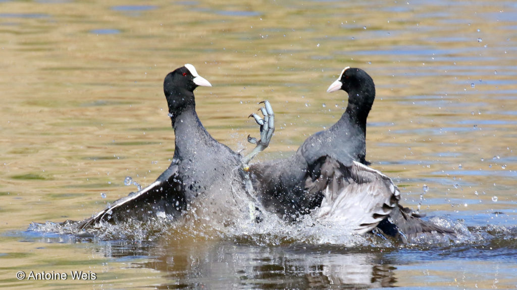Foulque macroule (Fulica atra), Champ-Pittet 2016