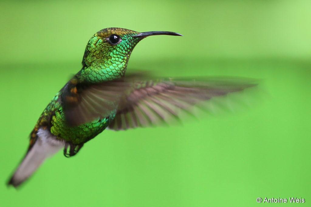 Colibri, Costa Rica 2011
