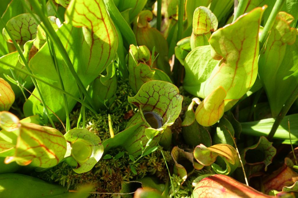 Les feuilles en forme d'urne de la sarracénie. Un piège mortel!