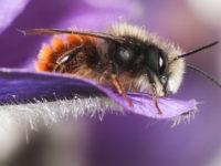 L'abeille maçonne, jolie bête à cornes